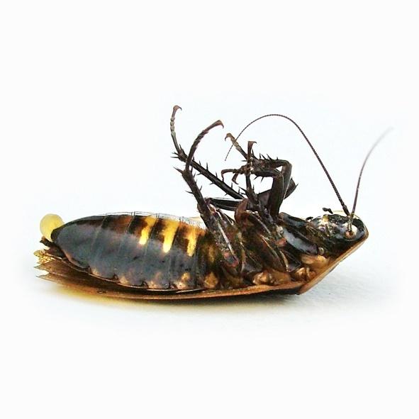 Kakkerlak Bestrijding Door Ongediertemelding