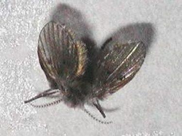 Bestrijden Van Motmuggen (rioolvliegen Oflatrinevliegjes) Door Melding Ongedierte