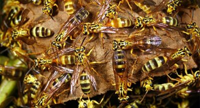 Ongediertemelding Wespenbestrijding