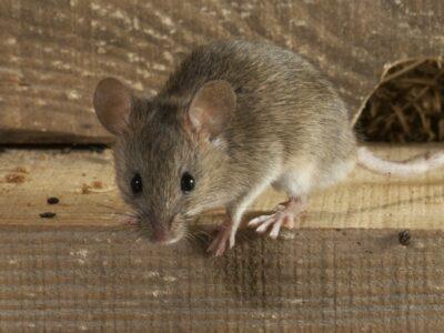 bestrijden van muizen door Melding ongedierte