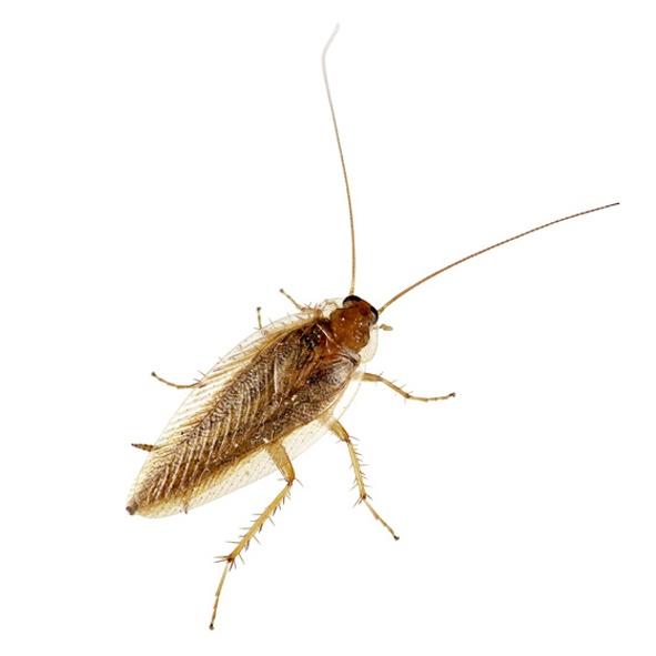 Kakkerlakken Bij Bestrijden Ze Voor U