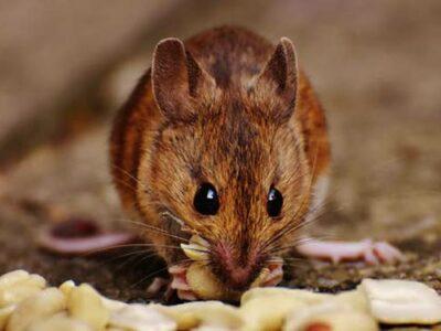 melding ongedierte helpt met een rattenplaag