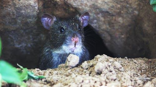 Last Van Ratten Bel Melding Ongedierte
